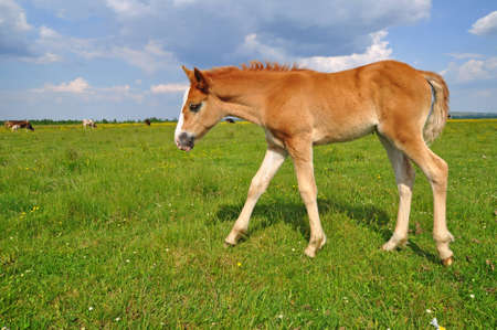 horseflesh: Foal on a summer pasture Stock Photo