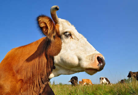 Head of a cow against a pasture   Stock Photo - 12949388