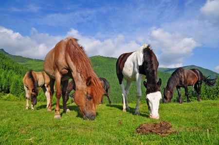 Horses on a summer mountain pasture   Stock Photo - 12949707