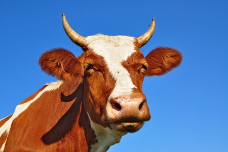 Head of a cow against the sky Stock Photo - 12949667