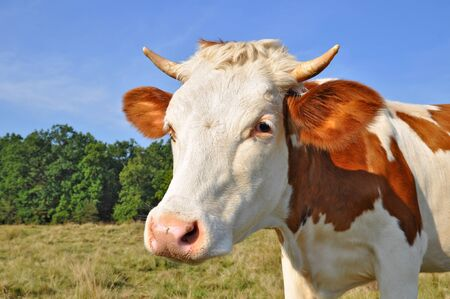 Head of the calf against a pasture Stock Photo - 12949704