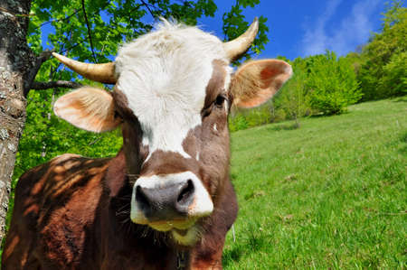 Head of the calf against a pasture   Stock Photo - 12949794