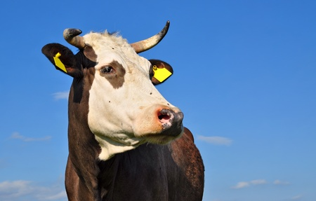 Head of a cow against the sky Stock Photo - 13023309
