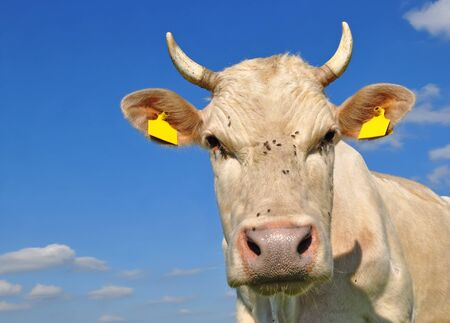 Head of a cow against the sky Stock Photo - 13023437