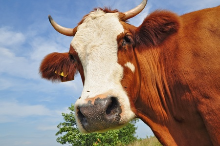Head of a cow against a pasture Stock Photo - 13056422