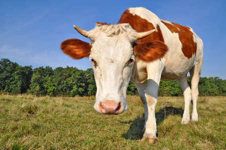 The calf on a summer pasture Stock Photo - 13094648