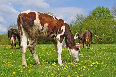 The calf on a summer pasture Stock Photo - 13094690