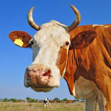Head of a cow against the sky Stock Photo - 13094400