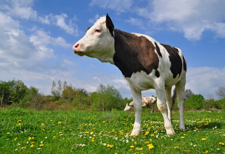 cohort: The calf on a summer pasture
