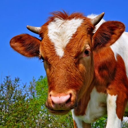 Head of the calf against a pasture Stock Photo - 13316577