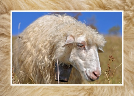 Head of a sheep against a pasture   photo