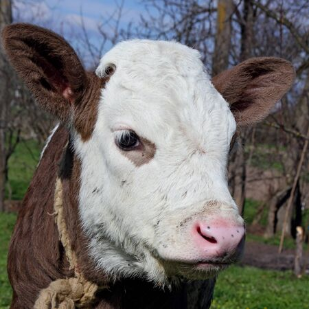 Head of the calf against a pasture   Stock Photo - 13316658