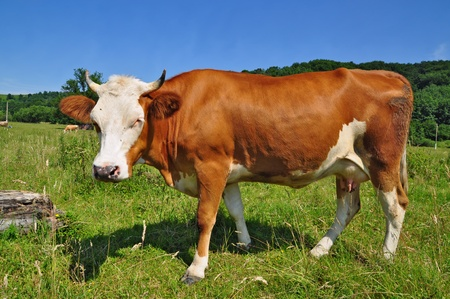 Cow on a summer pasture Stock Photo - 13317154