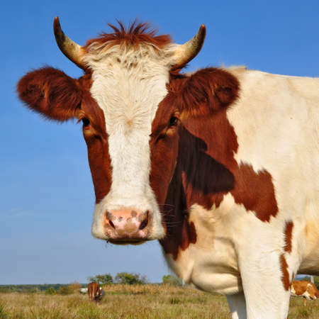 Head of the calf Stock Photo - 13317211