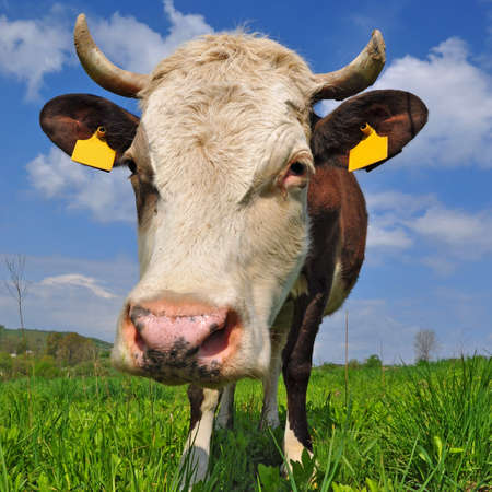 Cow on a summer pasture Stock Photo - 13317229