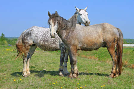 horse meat: Horses on a summer pasture Stock Photo