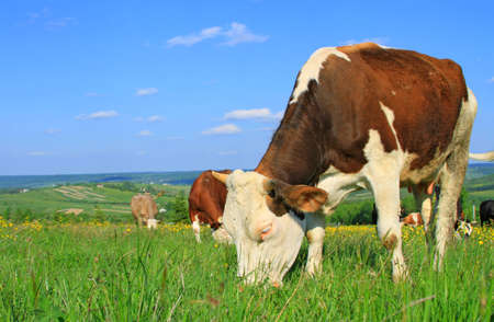 progeny: The calf on a summer pasture