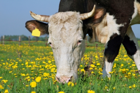 Head of a cow against a pasture Stock Photo - 13617335
