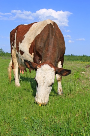 Cow on a summer pasture Stock Photo - 13750523