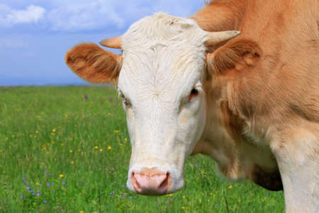 Head of the calf against a pasture Stock Photo - 13803665