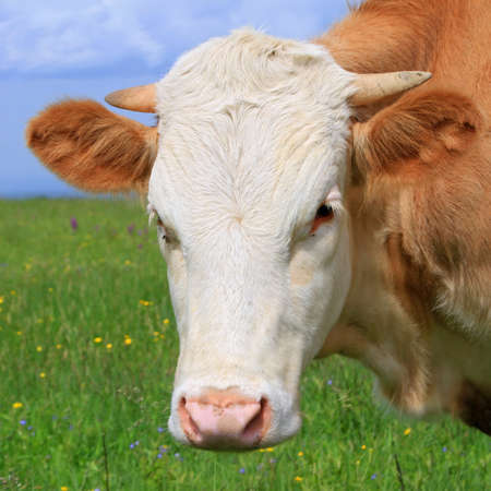 Head of the calf against a pasture Stock Photo - 13803655