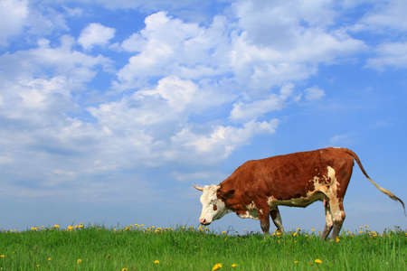 Cow on a summer pasture Stock Photo - 13803685