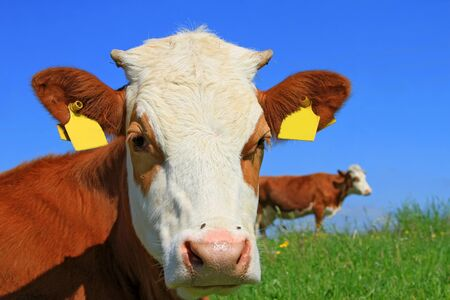 Head of the calf against a pasture Stock Photo - 13907586