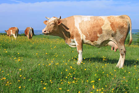 Cow on a summer pasture Stock Photo - 13907608