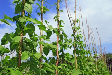Young stalks of a string bean on poles Stock Photo - 14153059
