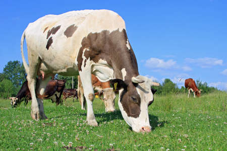 Cow on a summer pasture Stock Photo - 14153113