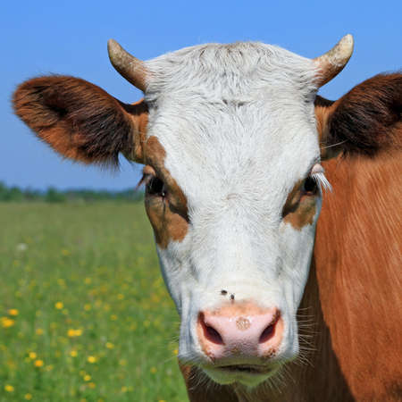 cohort:  Head of the calf against a pasture