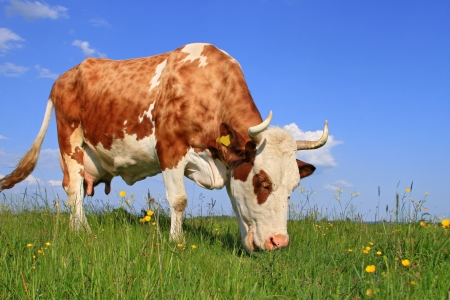 Cow on a summer pasture Stock Photo - 14407250