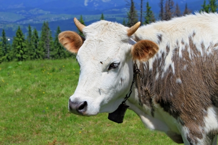 cohort: The calf on a summer mountain pasture Stock Photo