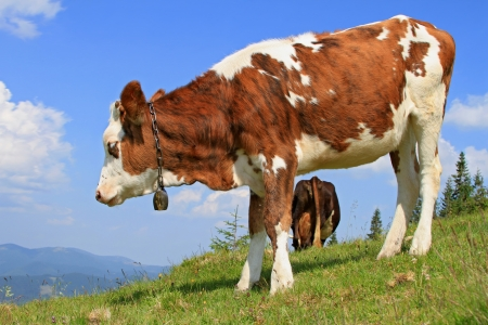 The calf on a summer mountain pasture Stock Photo - 14407278