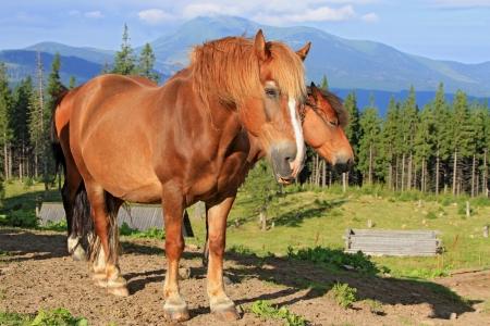 horseflesh: Horses on a summer mountain pasture Stock Photo