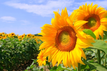 yielding: Sunflower field   Stock Photo