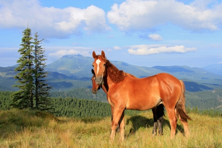 horseflesh: Horses on a summer mountain pasture
