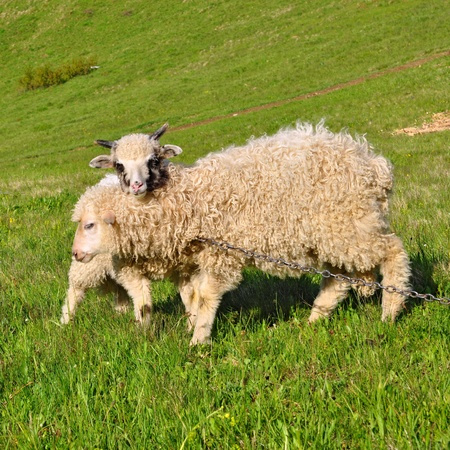 Lambs in a summer landscape photo