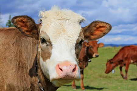 Head of the calf against a pasture Stock Photo - 14808991