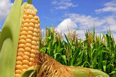 fodder corn: Ear of corn against a field under clouds Stock Photo