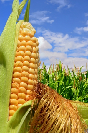 Ear of corn against a field under clouds Stock Photo