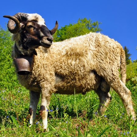Ram in a summer landscape photo