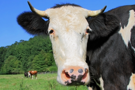 Head of a cow against a pasture photo