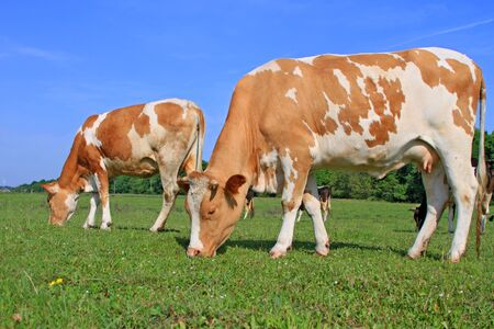 Cows on a summer pasture Stock Photo - 15098024