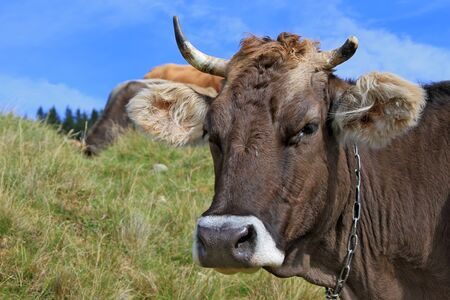 bloodstock: Head of a cow against a pasture Stock Photo