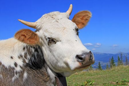 Head of the calf against mountains   photo