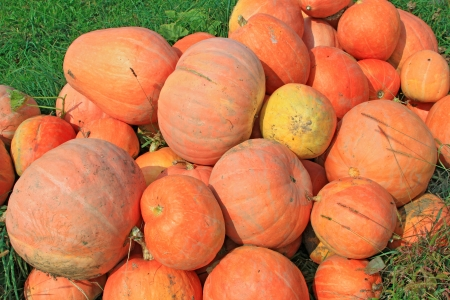 fruitage: Crop of pumpkins in the field Stock Photo
