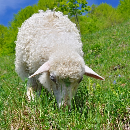 Lamb in a summer landscape Stock Photo - 15261127