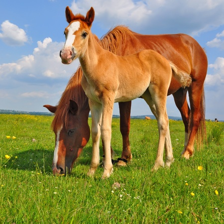 bloodstock: Foal with a mare on a summer pasture Stock Photo
