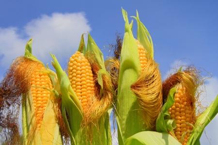 espiga de trigo: J�venes orejas de ma�z contra el cielo